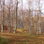 Vidojevica - šuma