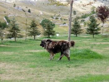 kavkaski ovčar