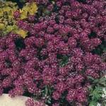 Royal Carpet Alyssum - St. Clare Heirloom Seeds