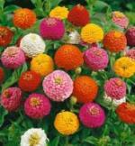Zinnia - Lilliput Mix - St. Clare Heirloom Seeds