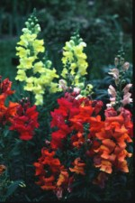 Maximum Mix Snapdragon - St. Clare Heirloom Seeds