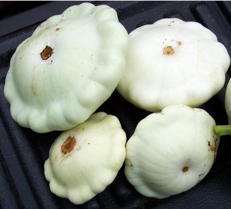 Summer squash white bush scallop st clare heirloom seeds summer squash white bush scallop st clare heirloom seeds mightylinksfo