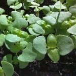 Basil, Sweet Italian Large Leaf Microgreen Seeds - St. Clare Heirloom Seeds