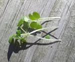 Mustard, Green Wave Microgreen Seeds - St. Clare Heirloom Seeds
