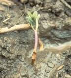 Damping Off of a heirloom garden seedling - St. Clare Heirloom Seeds