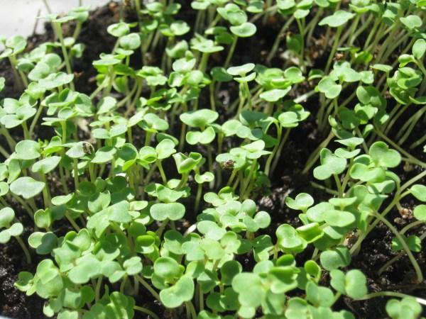Arugula, Roquette Microgreens - St. Clare Heirloom Seeds