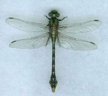 St. Croix Snaketail dragonfly