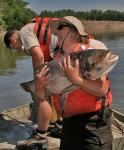 A U.S. Fish and Wildlife Service volunteer holds a bighead carp (USFWS photo)