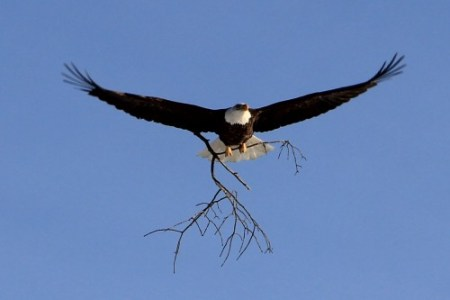 A bald eagle carries a branch to its nest along the St. Croix River