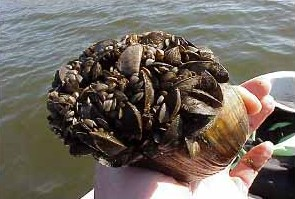 Zebra mussels cover native mussels