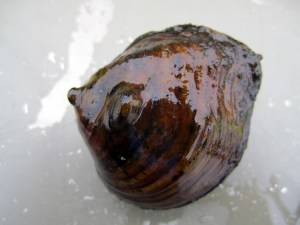 St. Croix River mussel