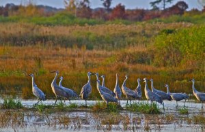 Sandhill cranes (Photo courtesy Robin Murray)