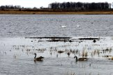 Geese and swans, Crex Meadows - March 21, 2012