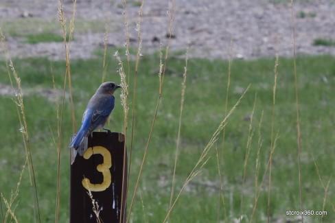 Bluebird at Belwin Conservancy