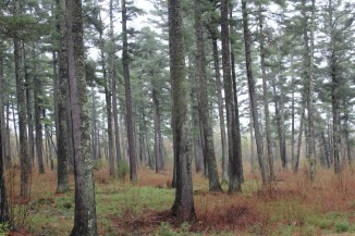 Uhrenholdt Memorial Forest, a great place for a stroll in some old pine woods.