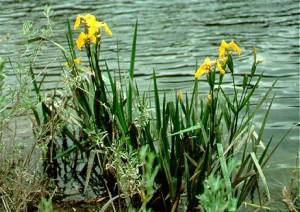 Invasive Yellow Iris