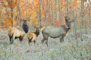 Wisconsin elk (Photo courtesy Wisconsin Department of Natural Resources)