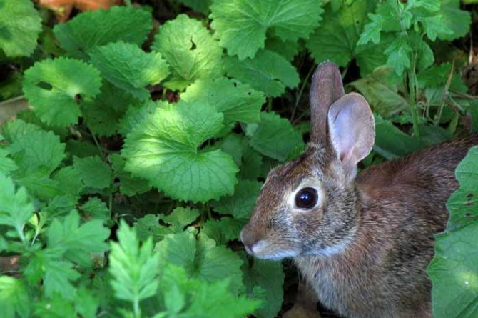 Invasive garlic mustard and a rabbit
