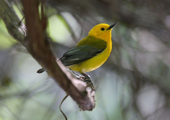"""Prothonotary Warbler"" by Dominic Sherony - originally posted to Flickr as Prothonotary Warbler. Licensed under CC BY-SA 2.0 via Wikimedia Commons - http://commons.wikimedia.org/wiki/File:Prothonotary_Warbler.jpg#mediaviewer/File:Prothonotary_Warbler.jpg"