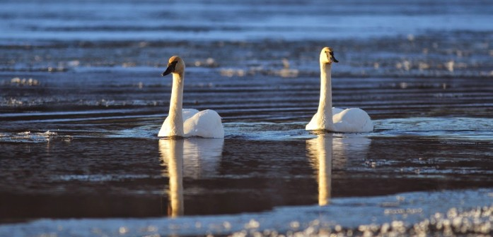 Trumpeter Swans among the ice flows