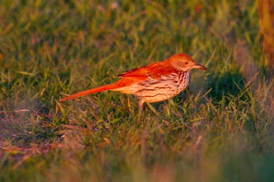 brown-thrasher-wrsp-rubin-s