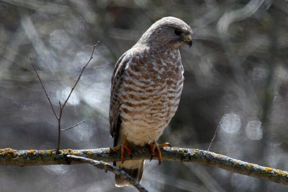 brown-winged-hawk
