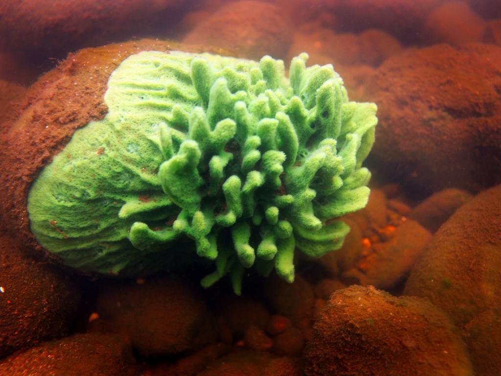 WDNR Freshwater Sponge, by Anthony