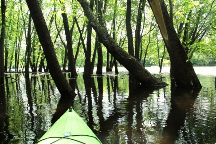 Threading through flooded timber on the St. Croix River backwaters.