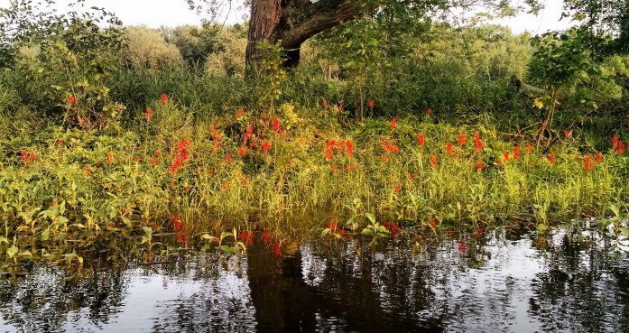 Cardinal flowers on the banks of the St. Croix River