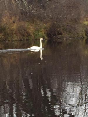 Muskie the Trumpeter Swan on the St. Croix River near Danbury, Wis. (Jeff Butler photo)