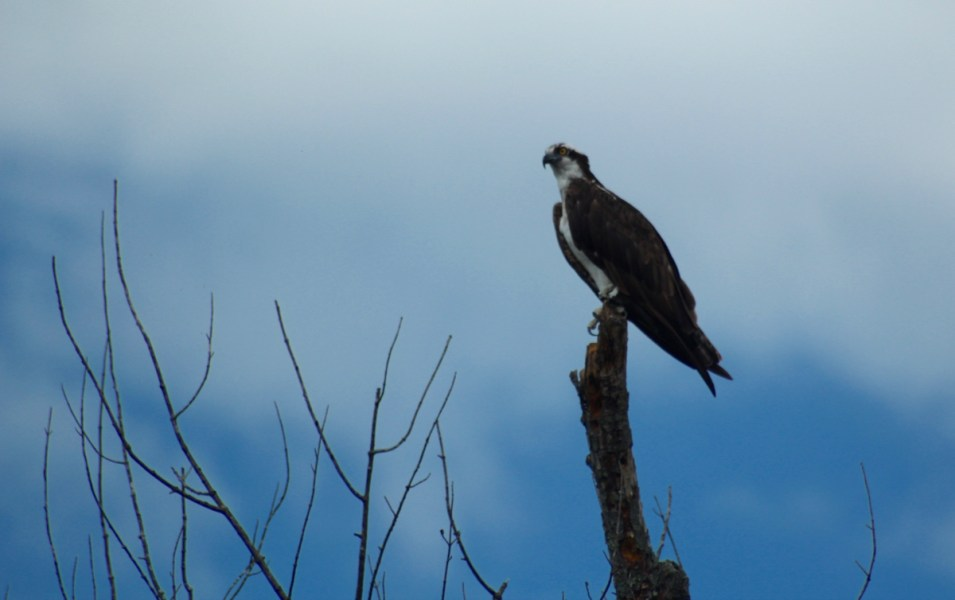 Osprey perched near the St. Croix River.