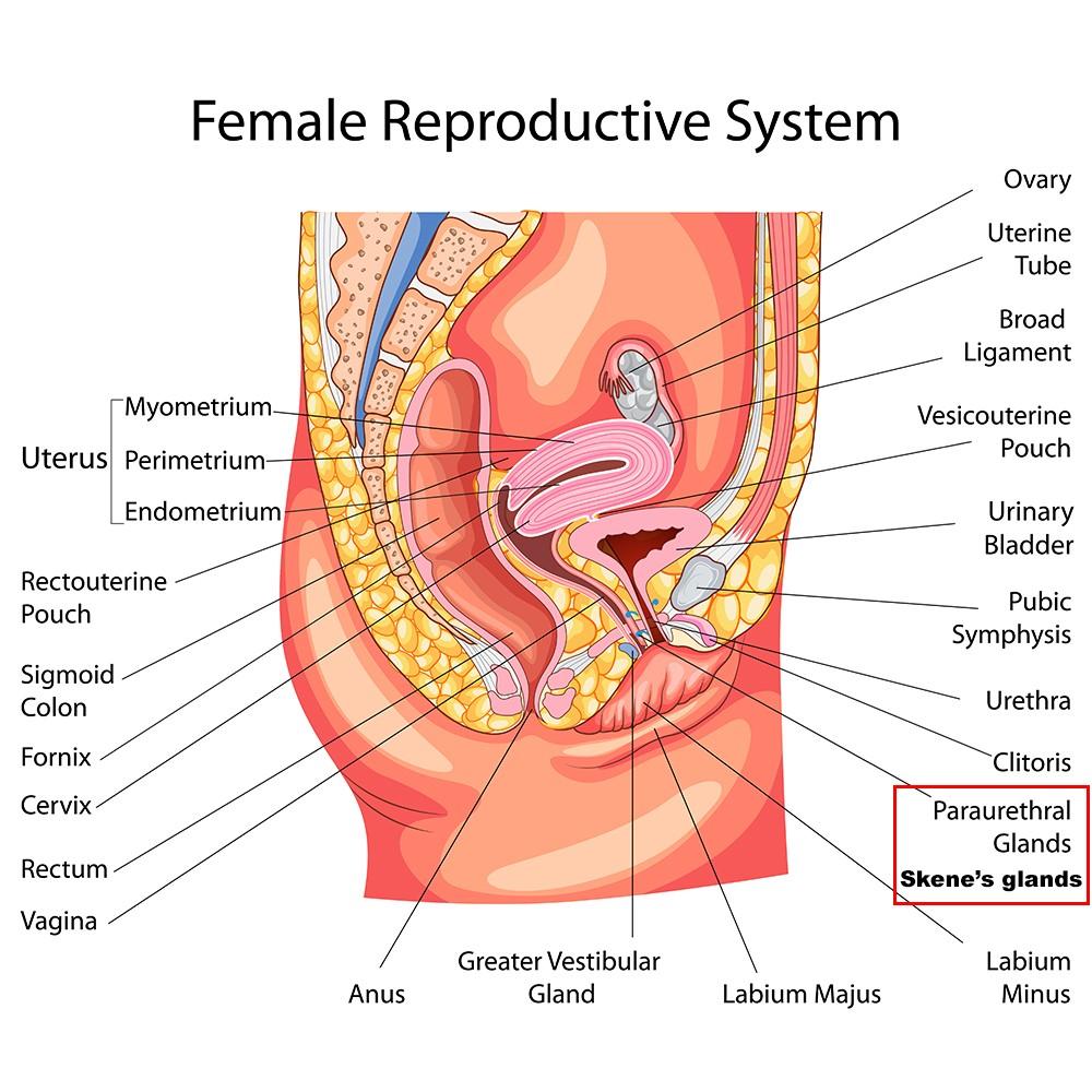 Anatomy Bartholin Gland Cyst