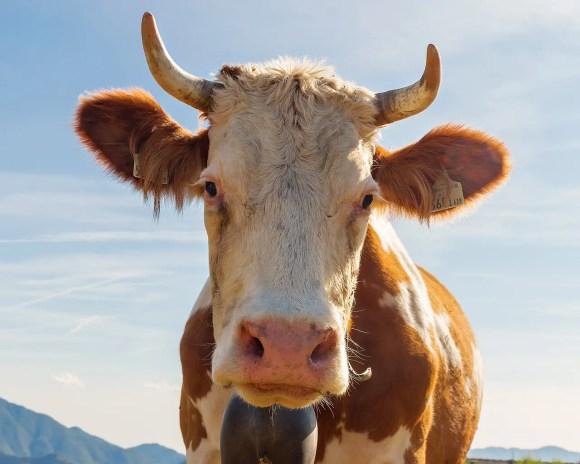 Cow Calf Bovino Animal Livestock  - AlessandroSquassoni / Pixabay