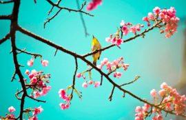 fiore-di-ciliegio-830x625