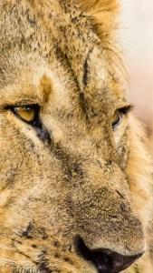 im Auge des Löwen