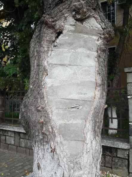 copacul zidit
