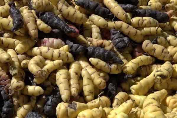Wikipedia Oxalis tuberosa