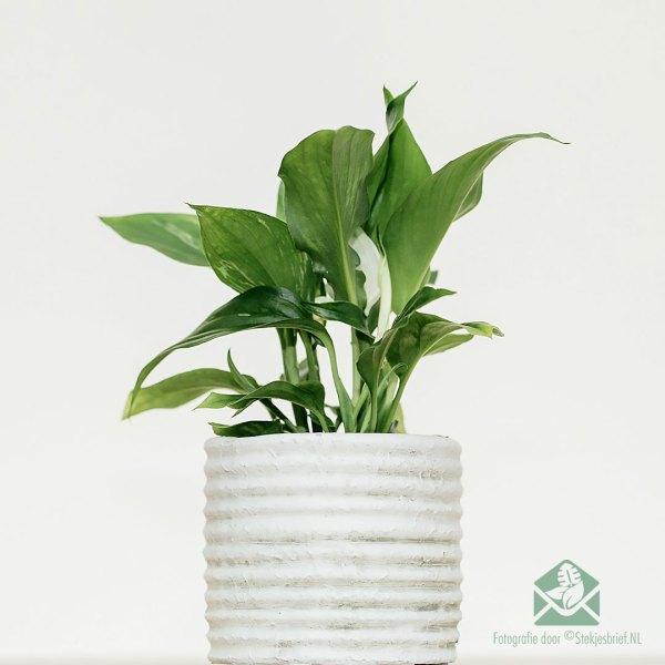 Lepelplant - Spathiphyllum mini plant kopen