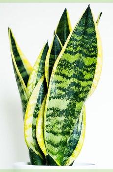 Vrouwentongen (Sansevieria trifasciata laurentii)