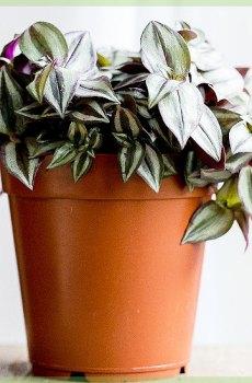 tradescantia zebrina commelinaceae