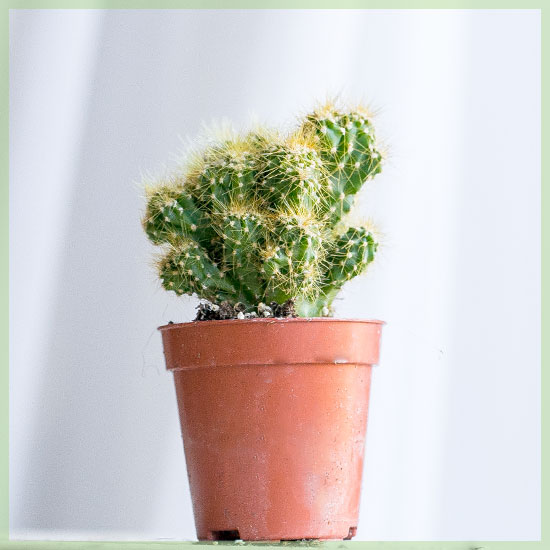 Mini cactus in kwekerpot