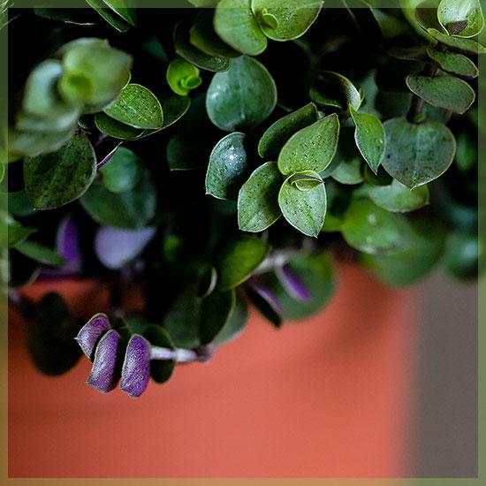 Schildpadplant (Callisia 'Turtle')