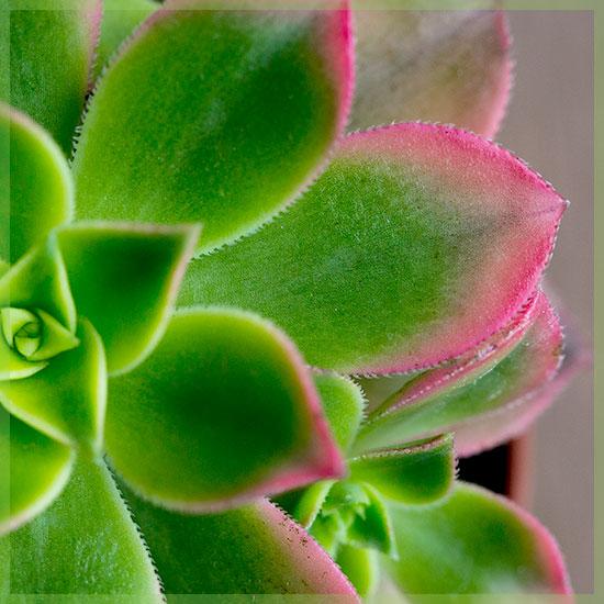 Aeonium Kiwi Vetplant