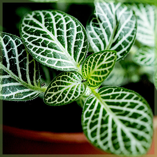 Fittonia verschaffeltii - Mozaïekplantje groen bladeren