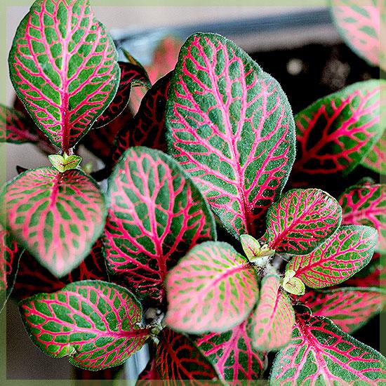 Fittonia verschaffeltii - Mozaïekplantje groen roze bladeren