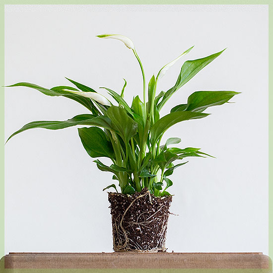 lepelplant spathiphyllum verzorging & tips