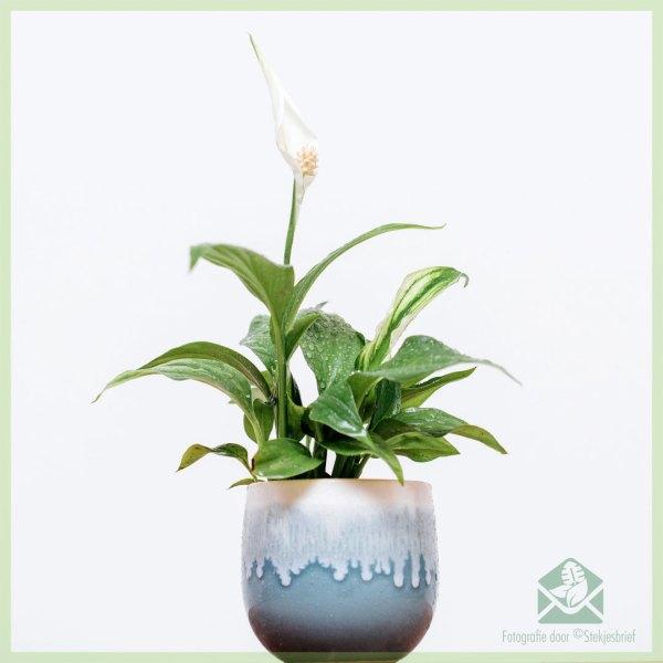 spathiphyllum lepelplant kopen online