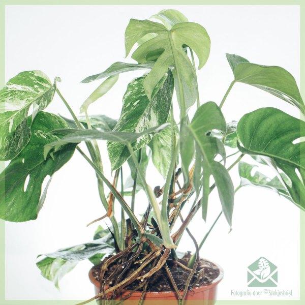 Monstera Variegata witte gatenplant kopen