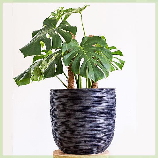 Monstera deliciosa grote plant in sierpot