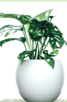 Monstera obliqua monkey mask stekjes
